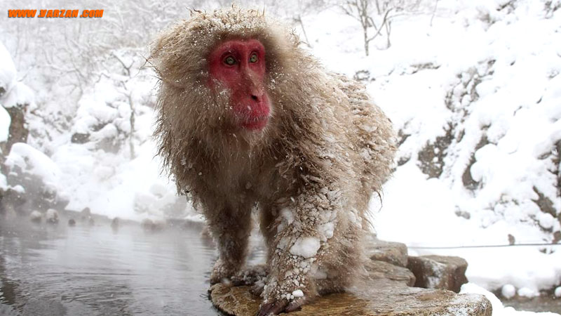 یک میمون ماکاک ژاپنی در نزدیکی چشمه آب گرم پارک میمون جیگوکودانی