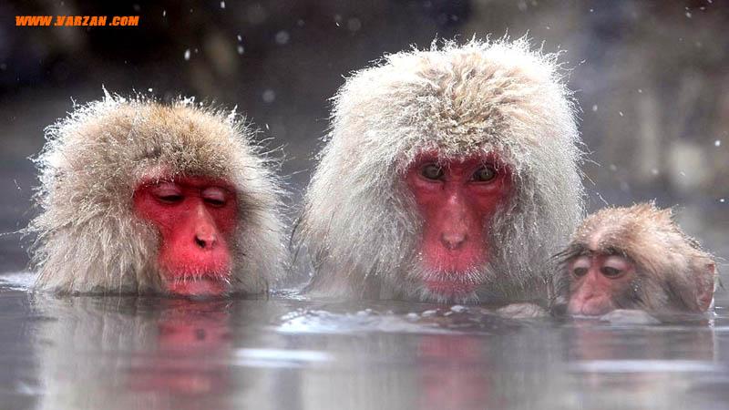 میمون های ماکاک ژاپنی در چشمه آب گرم