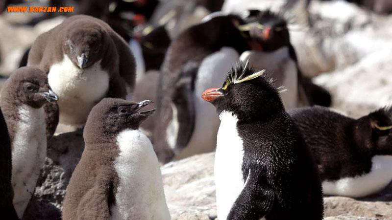 """پنگوئن های راک هاپر و بچه هایشان در جزیره """"ساندرز"""""""