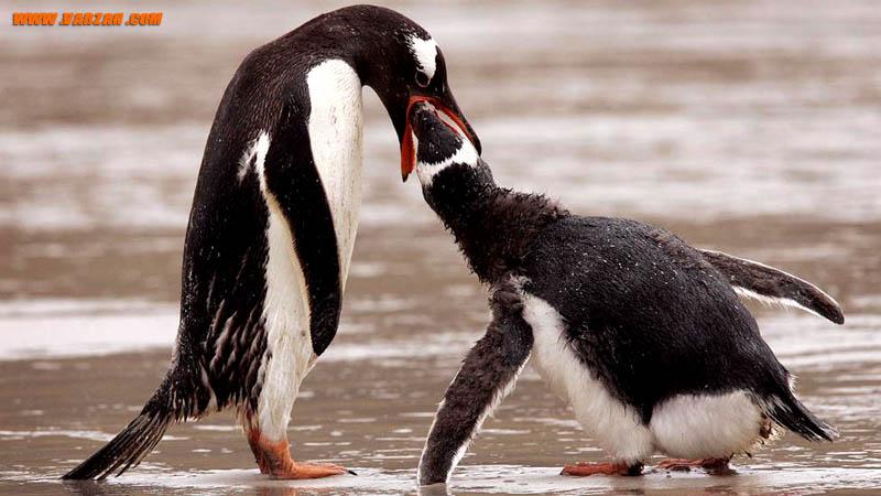 یک بچه پنگوئن ماژلانی در حال تغذیه