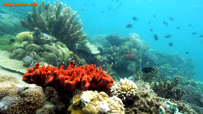 """انواع گوناگونی از مرجان ها در منطقه حفاظت شده دریایی """"هوندا بی"""""""