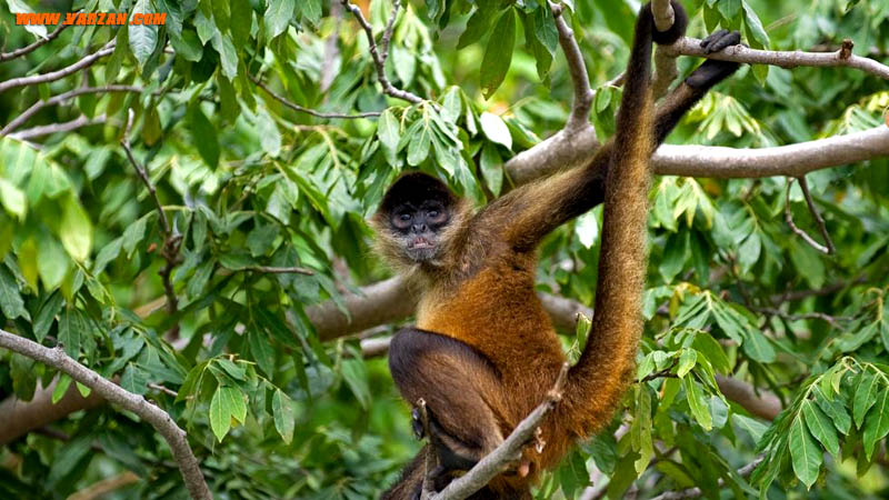 میمون عنکبوتی در یک درخت در جزیره میمون