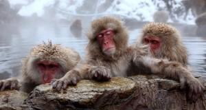 پارک میمون جیگوکودانی ژاپن