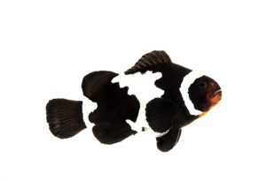تصویر دلقک ماهی اسلاریس دانه برفی سیاه