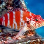 شاهین ماهی خون قرمز