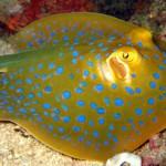سفره ماهی خال آبی