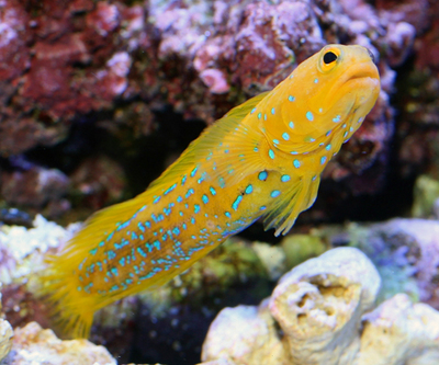 آرواره ماهی خال آبی جوان
