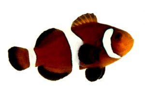 تصویر دلقک ماهی اسلاریس کاراملی