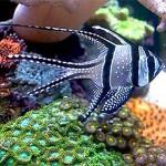 ماهی کاردینال