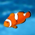 دلقک ماهی و شقایق ماهی