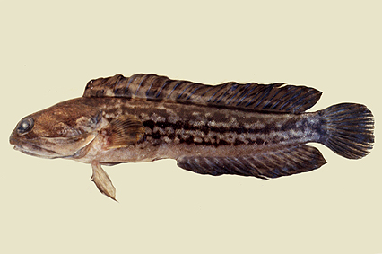 Opistognathus جنس