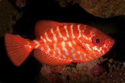 سنجاب ماهی چشم شیشه ای