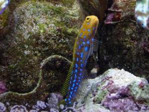 آرواره ماهی خال آبی
