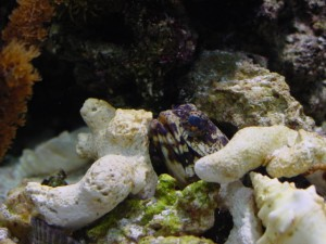 آرواره ماهی تیره