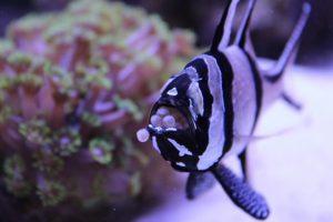 نمایی از ماهی کاردینال کادرن در حال نگهداری تخم ها در دهان
