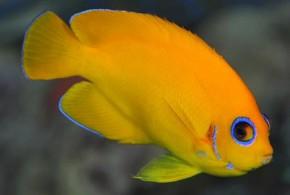فرشته ماهی پوست لیمویی