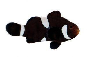 تصویر دلقک ماهی اسلاریس میس بار