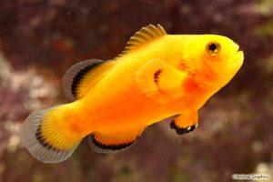 تصویر دلقک ماهی اسلاریس برهنه