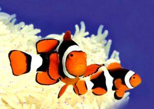 دلقک ماهی پرکولا