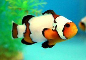 تصویر دلقک ماهی اسلاریس دانه برفی ممتاز