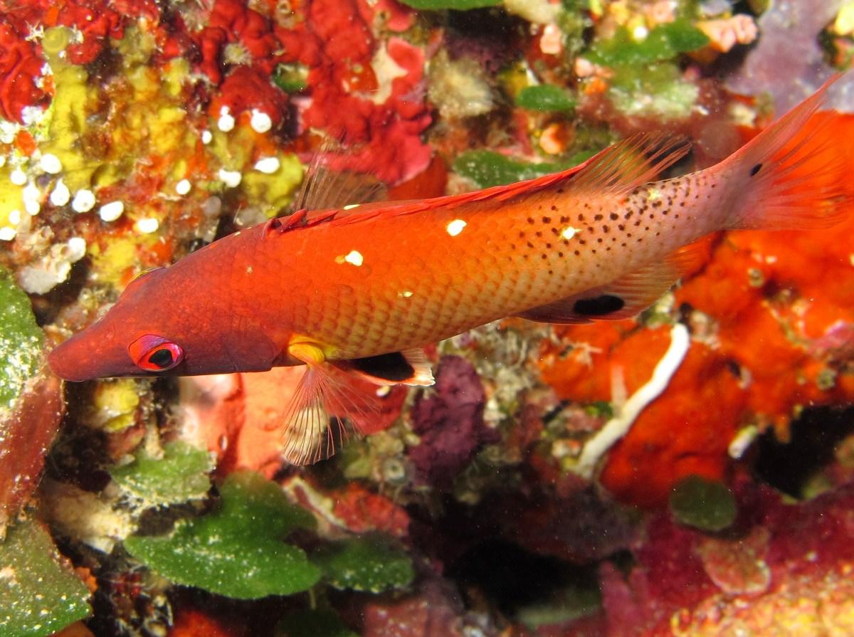 گراز ماهی دیانا قرمز بالغ
