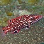 گراز ماهی دیانا قرمز