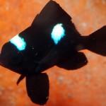 دوشیزه ماهی دومینو سه خال