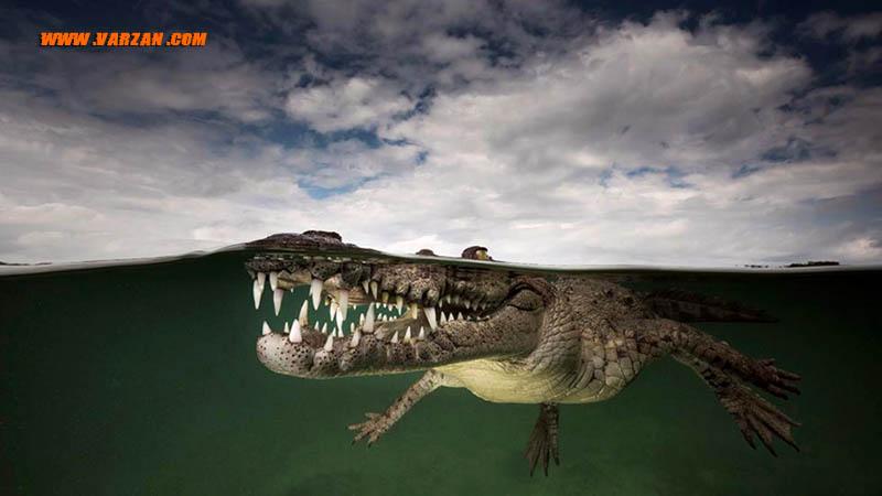"""تمساح آمریکایی در """"جاردینس دلا رینا"""""""
