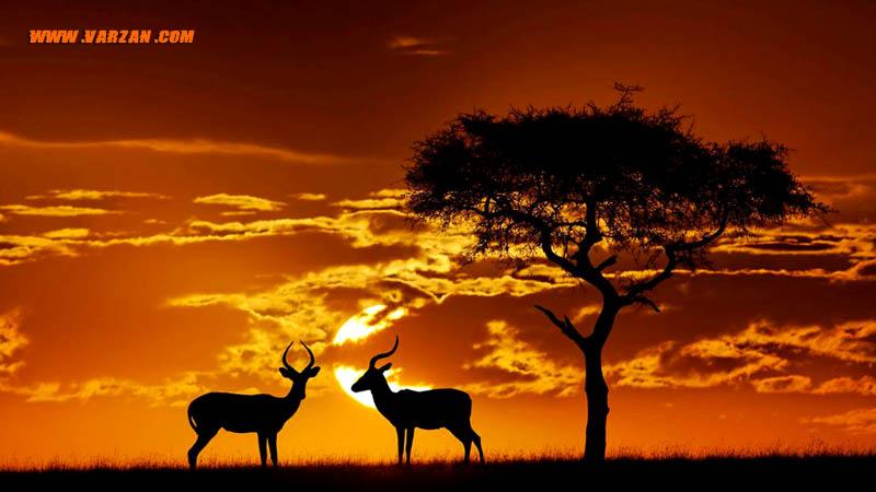 """حیوانات در غروب خورشید در """"لوکسودونتا آفریکانا، بوتسوانا"""""""