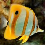 پروانه ماهی