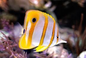 پروانه ماهی نوار مسی