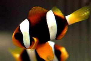 دلقک ماهی کلارکی
