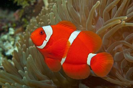 دلقک ماهی گونه خاردار