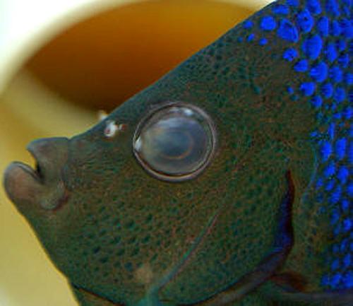 ماهی بیمار با چشم های مه آلود