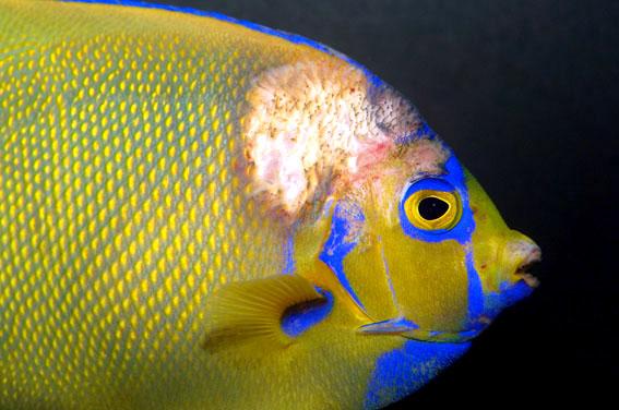 ماهی با عفونت پوستی