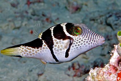 ماهی بادکنکی والنتین زین دار
